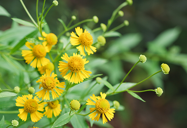 Smoky Mountains Wildflowers: Sneezeweed