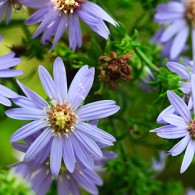 Smoky Mountains Wildflowers: the Asters of Autumn