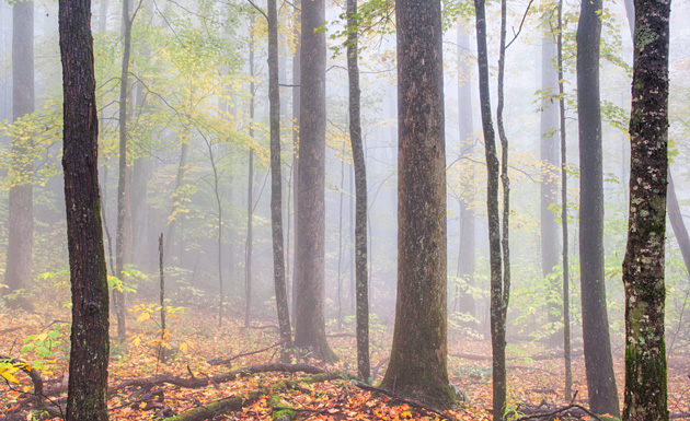 Smoky Mountain Trees in Fog © William Britten use with permission only