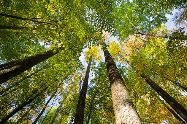 Tree Tops in the Smoky Mountains © William Britten use with permission only