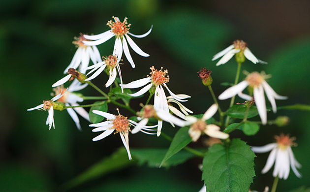 White Wood Aster © William Britten use with permission only