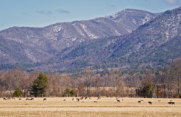 Deer grazing in Cades Cove © William Britten use with permission only