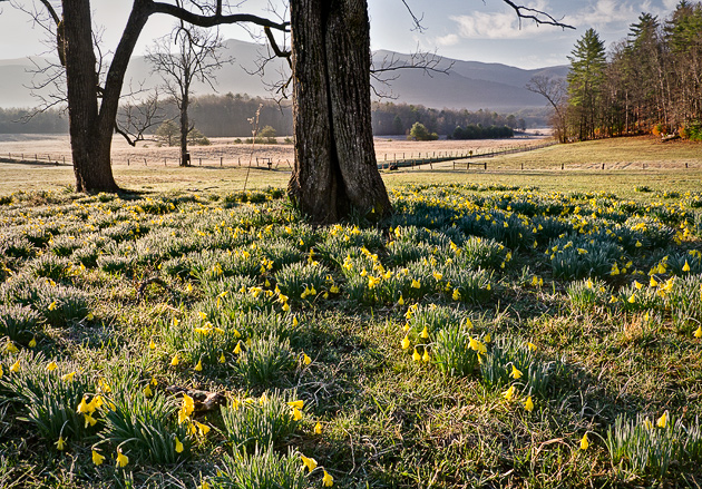 Daffodils in Cades Cove
