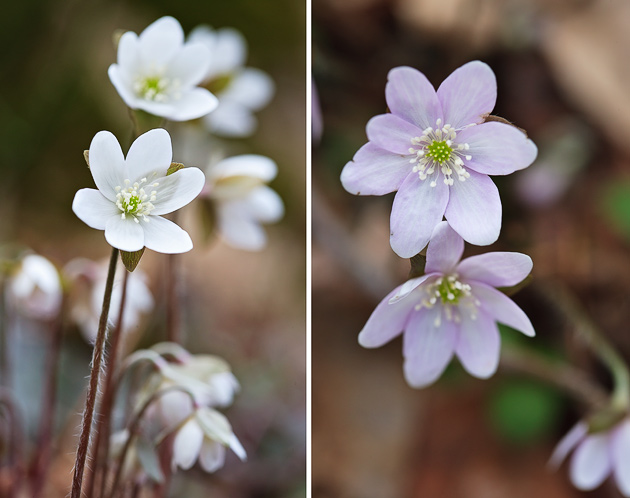 Hepatica (Hepatica acutiloba) Smoky Mountains wildflower