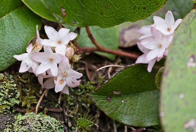 Trailing Arbutus along Spruce Flat Falls trail