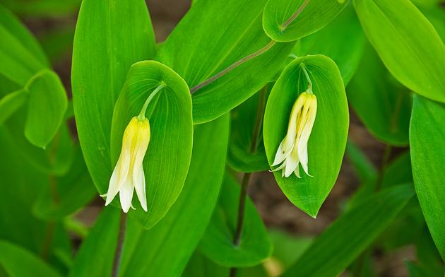 Perfoliate Bellwort (Uvalaria perfoliata)