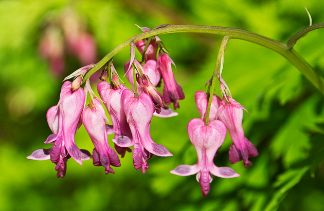 Bleeding Heart Dicentra eximia