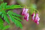 Bleeding Heart (Dicentra eximia)