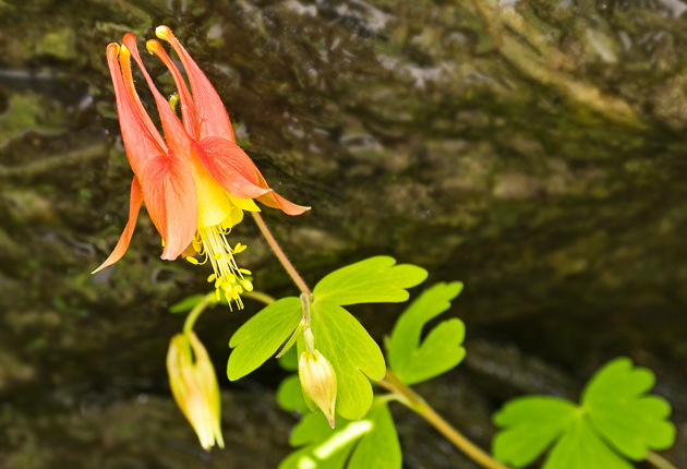 Smoky Mountains Columbine (Aquilegia canadensis)