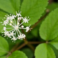 Smoky Mountains Wildflowers: Dwarf Ginseng