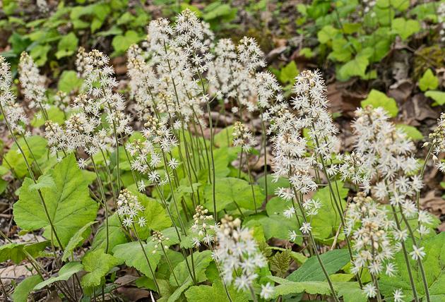 Foamflower along Porters Creek Trail