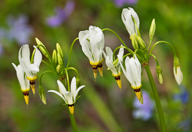 Shooting Star Plant Care | Garden Guides - Garden Guides, Your
