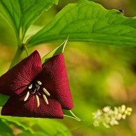 Smoky Mountains Wildflowers: Vasey's Trillium