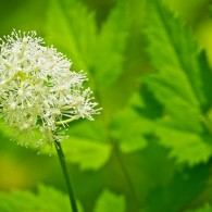 Smoky Mountains Wildflowers: White Baneberry