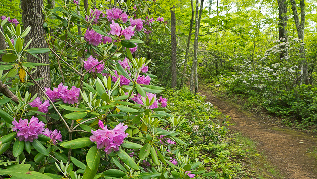 Rhododendron and Mountain Laurel along the trail