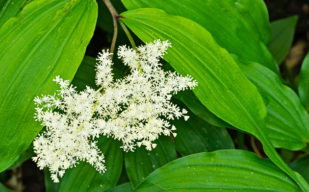 False Solomons Seal (Smilacina racemosa)