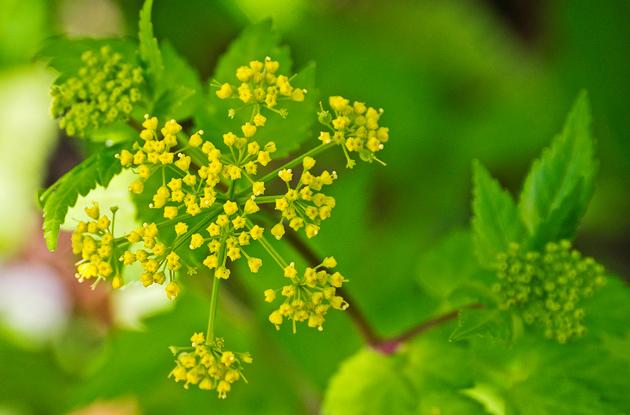 Meadow Parsnip (Thaspium barbinode)