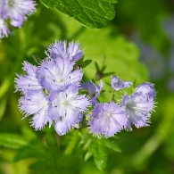 Smoky Mountains Wildflowers: Phacelia