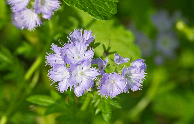 Miami Mist (Phacelia purshii)