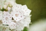 Mountain Laurel Wallpaper