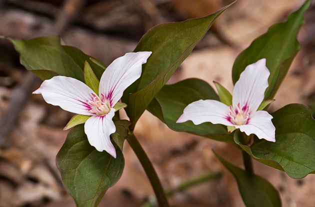 Smoky Mtn Painted Trillium along the Thomas Divide Trail