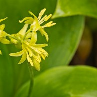 Smoky Mountains Wildflowers: Yellow Clintonia or Blue Bead Lily
