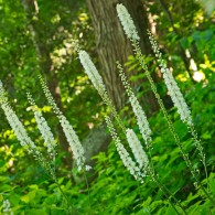 Smoky Mountains Wildflowers: Black Cohosh