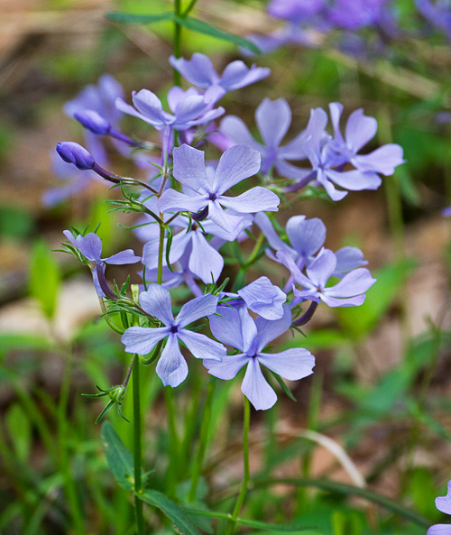 smoky mountains wildflowers blue phlox william britten photography. Black Bedroom Furniture Sets. Home Design Ideas