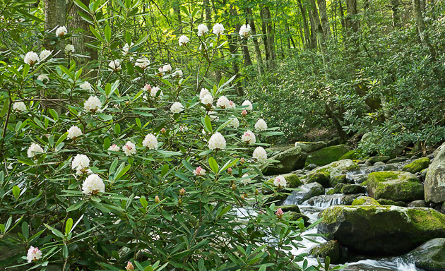 Rhododendron along the Roaring Fork