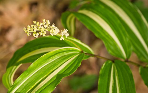 Leaf mutation