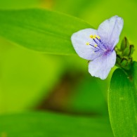 Smoky Mountains Wildflowers: Spiderwort