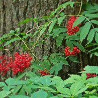 Smoky Mountains Wildflowers: Red Elderberry