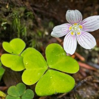 Smoky Mountains Wildflowers: Wood Sorrel