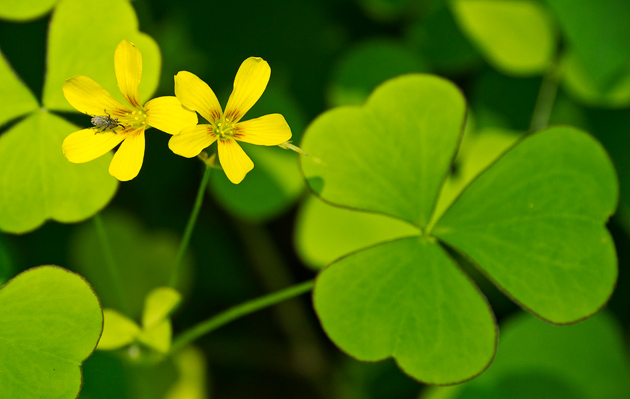 Price's Wood Sorrel (Oxalis priceae)