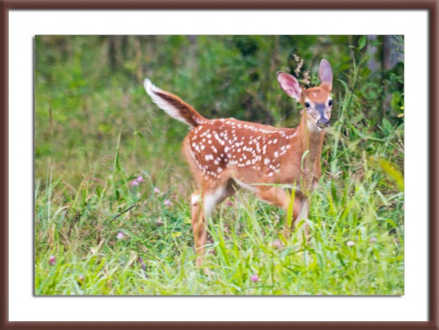 Fawn in Cades Cove