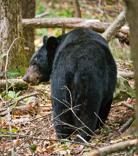 Smoky Mtns Black Bear