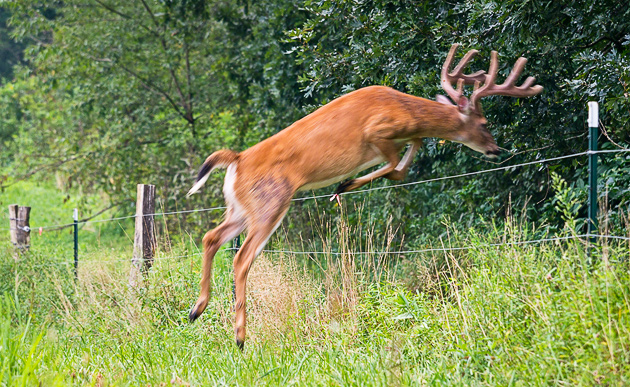 Fence jumping in Cades Cove