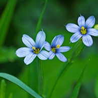Smoky Mountains Wildflowers: Blue-eyed Grass