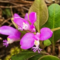 Smoky Mountains Wildflowers: Gay Wings