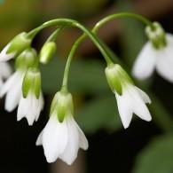 Smoky Mountains Wildflowers: Toothwort