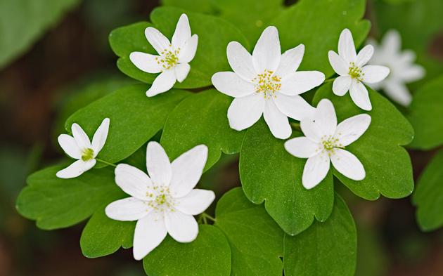Smoky Mountains Wildflowers: Rue Anemone