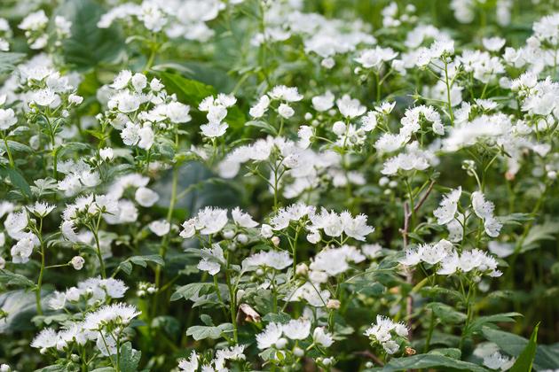 Smoky Mountains Wildflowers: Fringed Phacelia