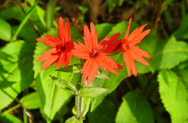 Smoky Mountains Wildflowers: Fire Pink