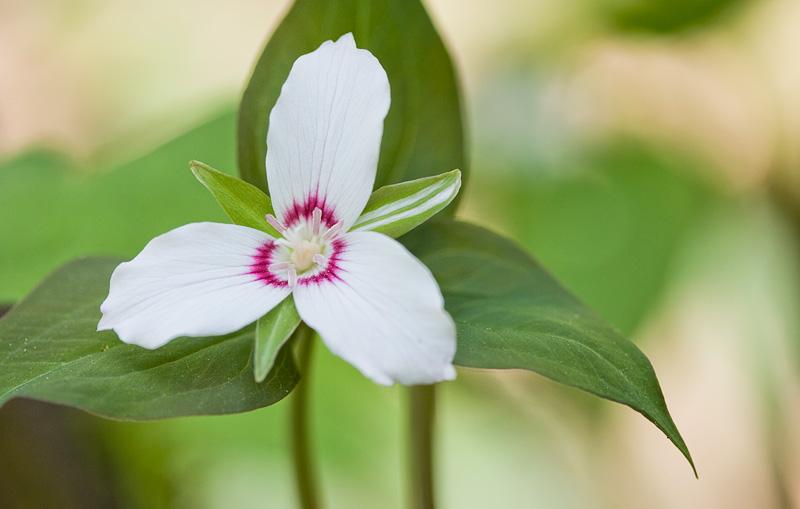 Smoky Mountains Wildflowers: Painted Trillium