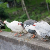 Remembering the Guinea Hens
