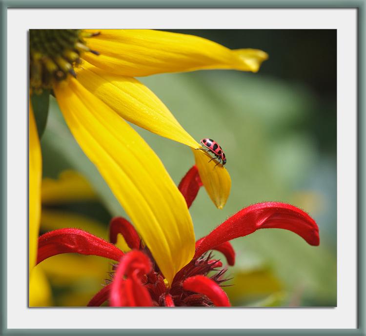 Wordless Wednesday: Ladybug, coneflower and bee balm