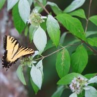 Smoky Mountain Butterflies