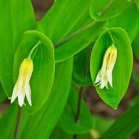 Smoky Mountains Wildflowers: Bellwort