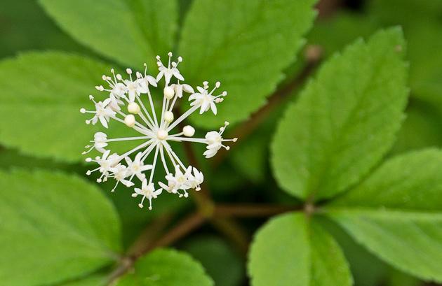 Smoky Mountains Wildflowers: Dwarf Ginseng