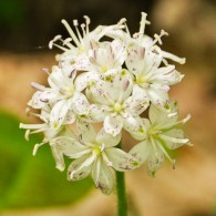 Smoky Mountains Wildflowers: Speckled Wood Lily